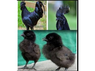 The Black Chicken ( Kadaknath )