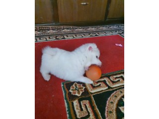 Japanese spitz male for sale on 7500with its cage free