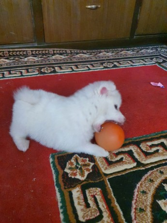 japanese-spitz-male-for-sale-on-7500with-its-cage-free-big-0