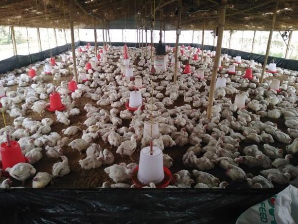poultry-farm-b-at-mahalaxmi-big-0