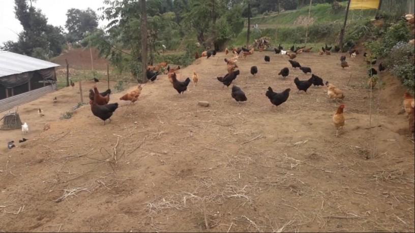 poultry-farm-b-big-2