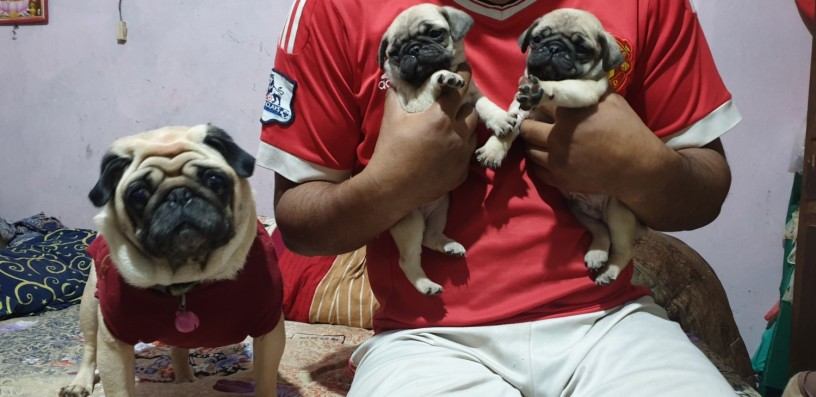 fawn-wrinkles-pug-puppies-on-sale-big-0