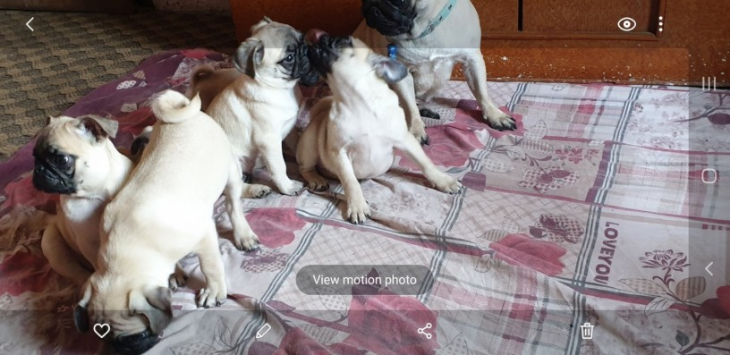 fawn-wrinkles-pug-puppies-on-sale-big-1