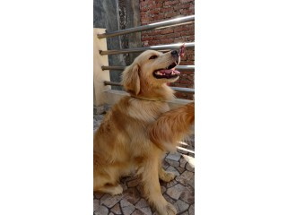 Golden retriever 2 years male and female for sale